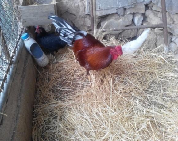 Gallos y Polluelas